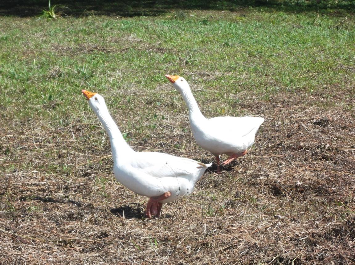 Los gansos salvajes