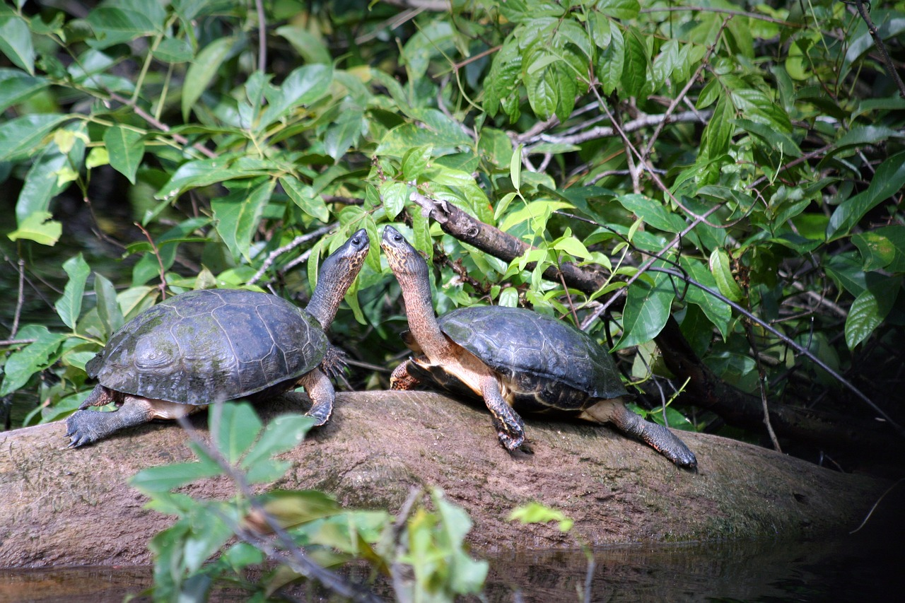 Tortugas en Tortuguero - vacaciones en costa rica