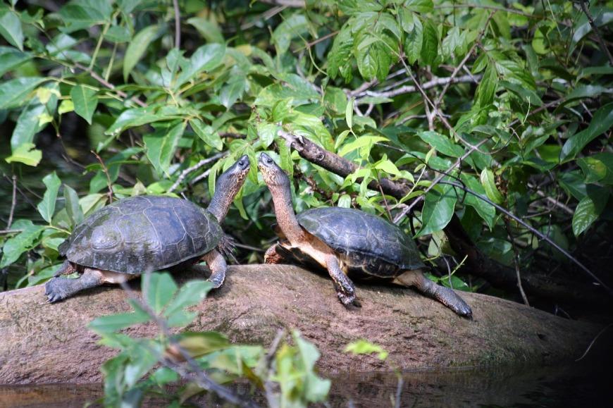 Tortugas en Tortuguero
