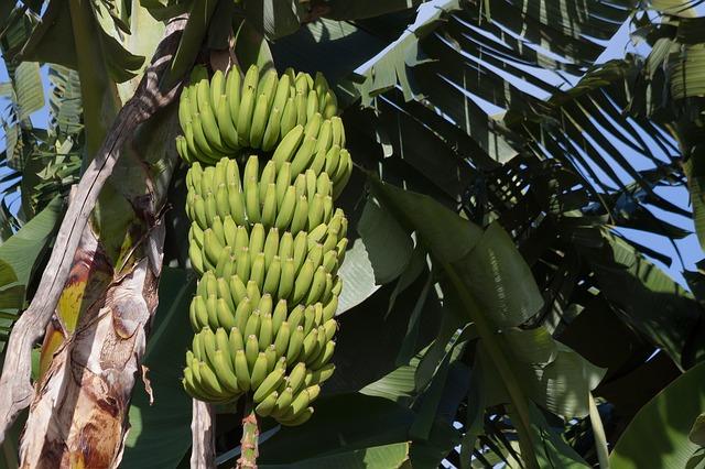 Plantación bananera