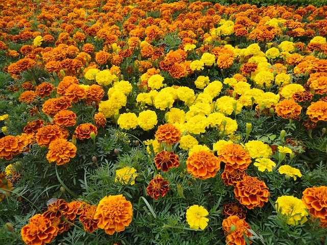 Flores de cempasúchil - día de muertos en méxico